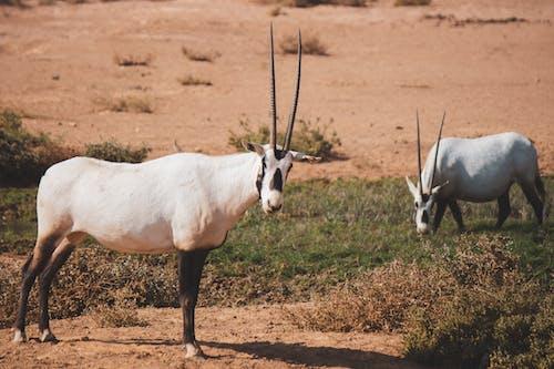 คลังภาพถ่ายฟรี ของ oryx