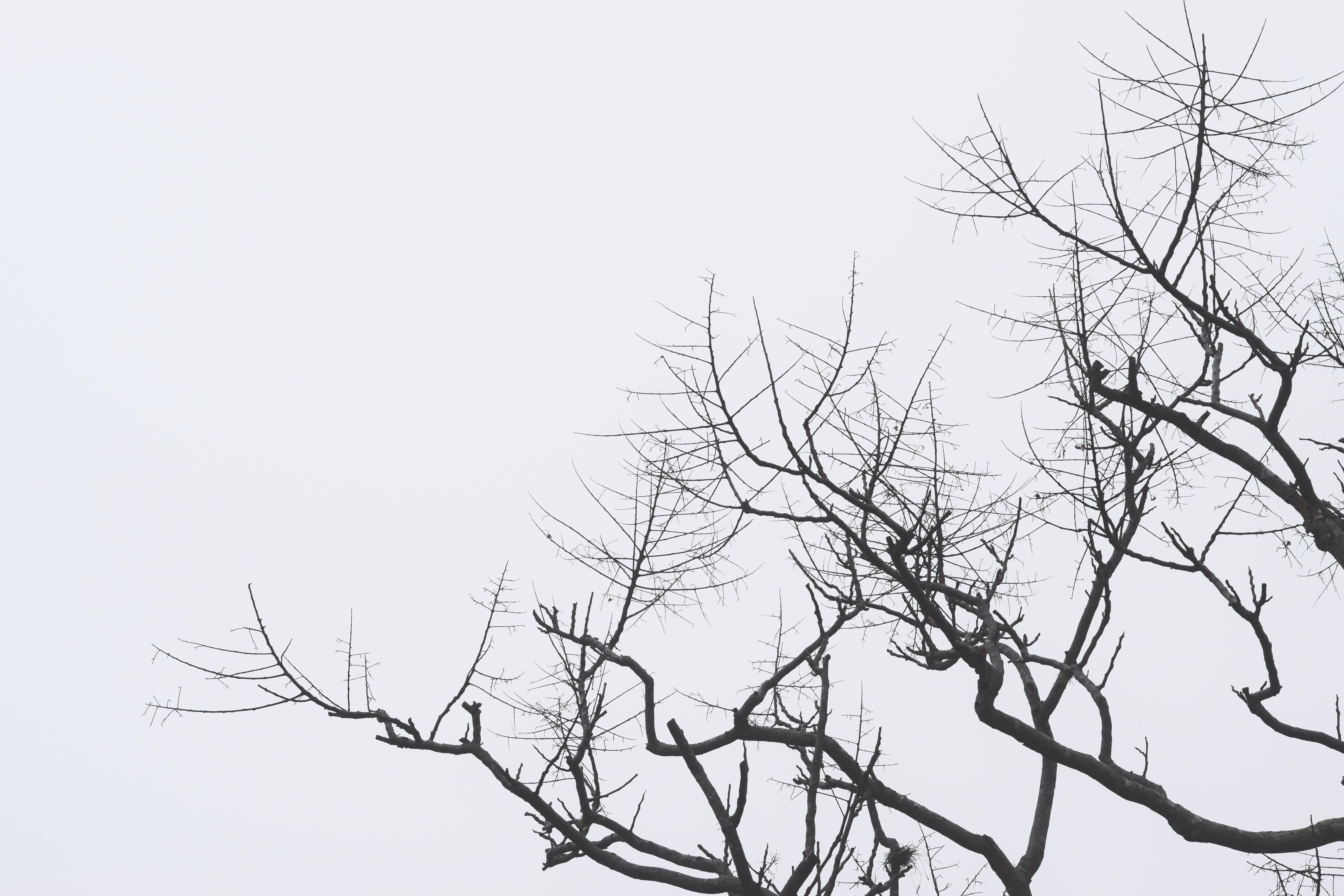 Free stock photo of black and white, branches, dead, dying