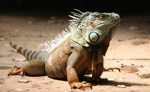 Close-up of a Iguana