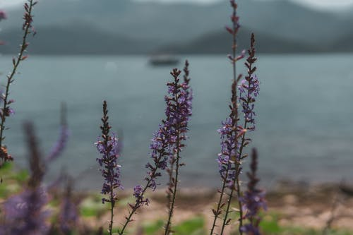 Free stock photo of lake, lavander, nature