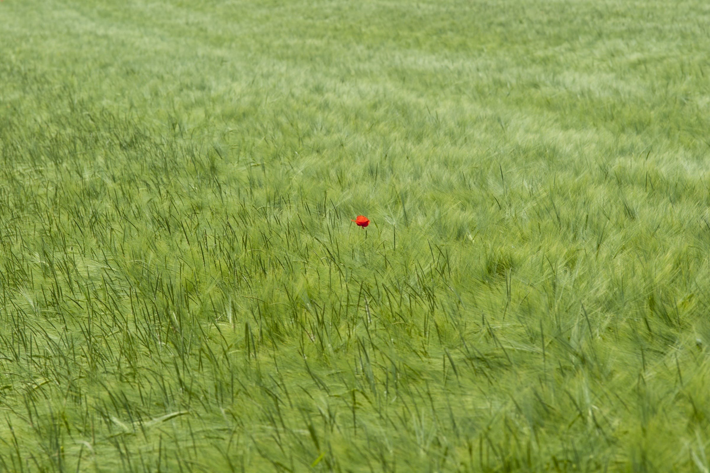 Free stock photo of nature, summer, cereals, poppy