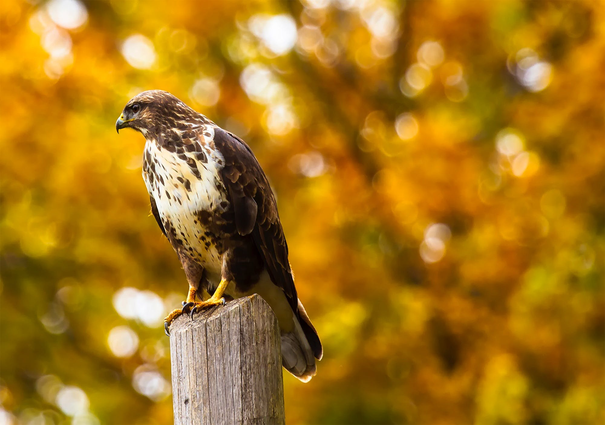 Close-up of Eagle Perching on Outdoors