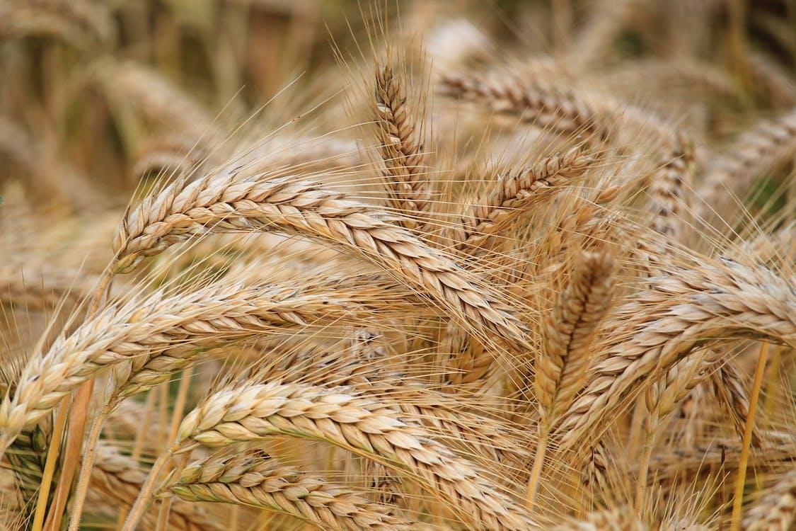 건조한, 곡물, 골드