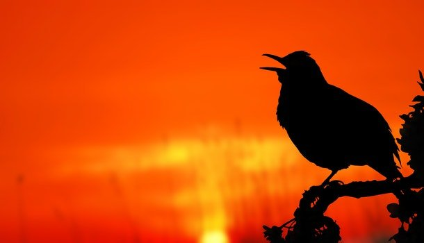 Close-up of Silhouette Bird Perching on Orange Sunset