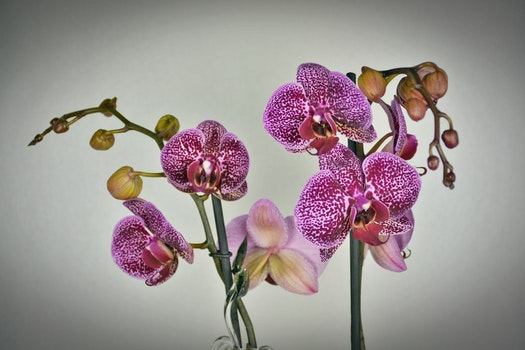 Close-up of Purple Orchid Flowers