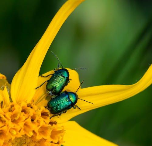 Foto profissional grátis de amarelo, arnica, besouros, brilho