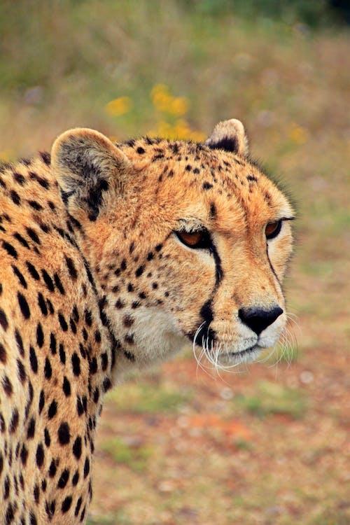고양잇과 동물, 광야, 남아프리카공화국, 동물의 무료 스톡 사진
