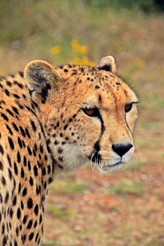 Cheetah Against Blurred Background