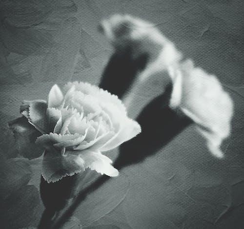 Základová fotografie zdarma na téma černobílá, detailní záběr, flóra, jednobarevný