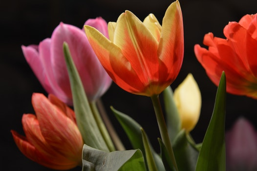 Close-up of Pink Flowers Blooming Against Black Background