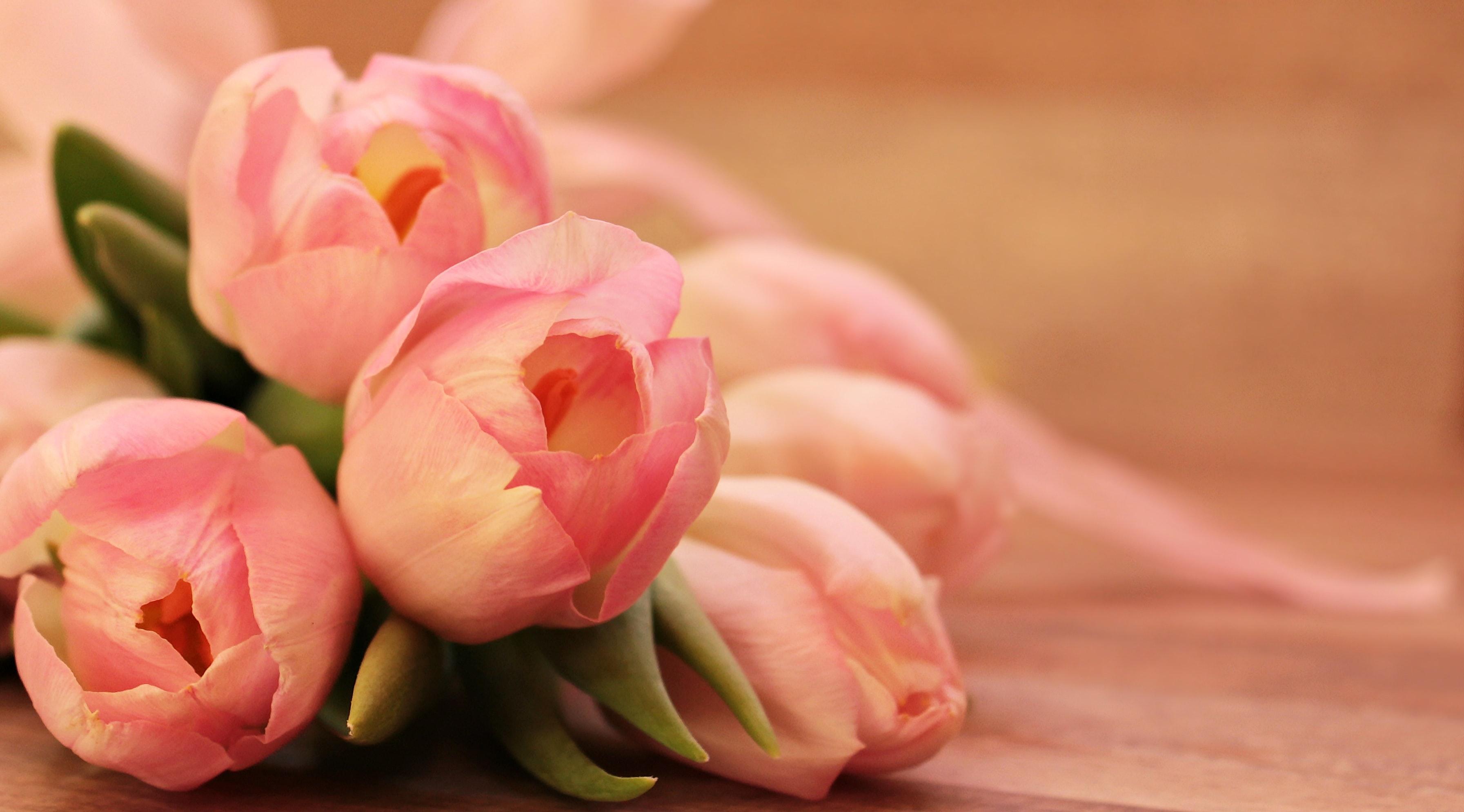 pink rose  u00b7 free stock photo