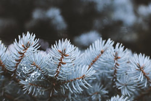 Free stock photo of beautiful, cold, conifer, coniferous trees