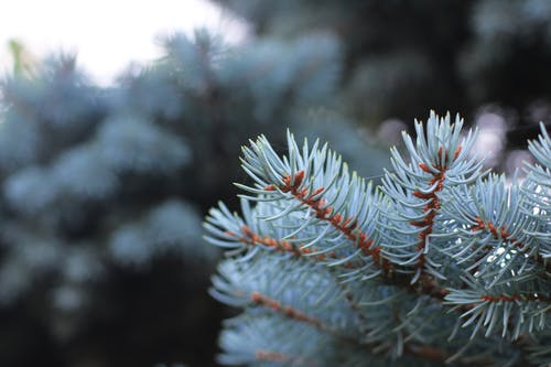 Free stock photo of beautiful, cold, conifer