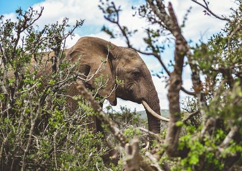 Free stock photo of adventure, africa, african elephant, animal