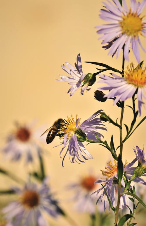 Free stock photo of aster, bee, flower, flowering