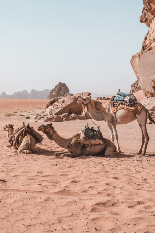 Three Camels Resting In The Desert