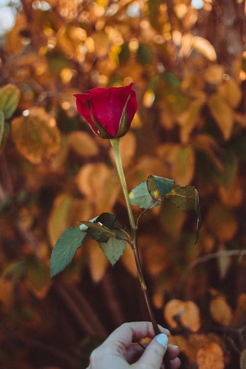 Selective Focus Photo of Red Rose With Bokeh Lights