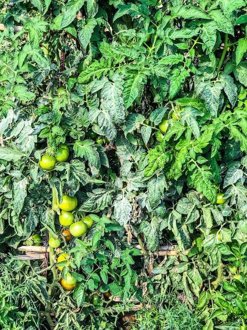 bitkiler, domates bitkisi, sebzeler, yapraklar içeren Ücretsiz stok fotoğraf