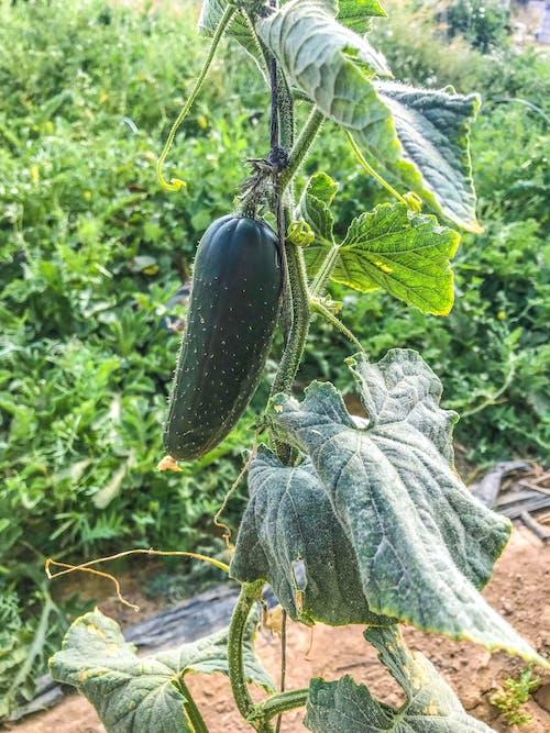 bitkiler, sağlıklı yiyecekler, salatalık, salatalık bitkisi içeren Ücretsiz stok fotoğraf