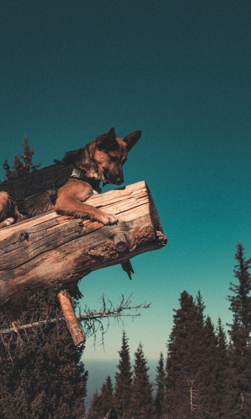 Dog Lying on top of a Fallen Tree Trunk