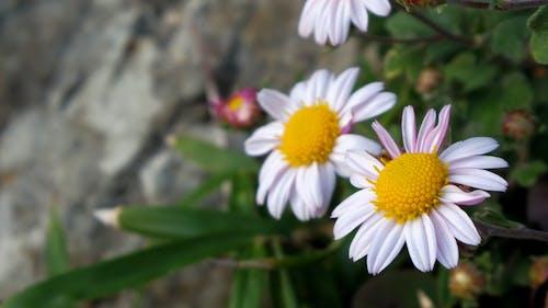 Бесплатное стоковое фото с белый, хризантема
