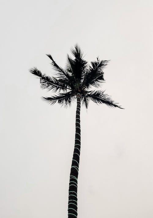 Бесплатное стоковое фото с кокосовая пальма, пальма, пальмовое дерево, съемка снизу