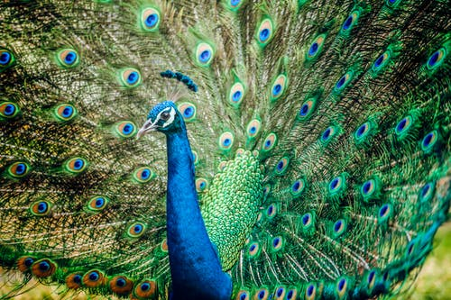 Blue Peacock in Close-Up Photography
