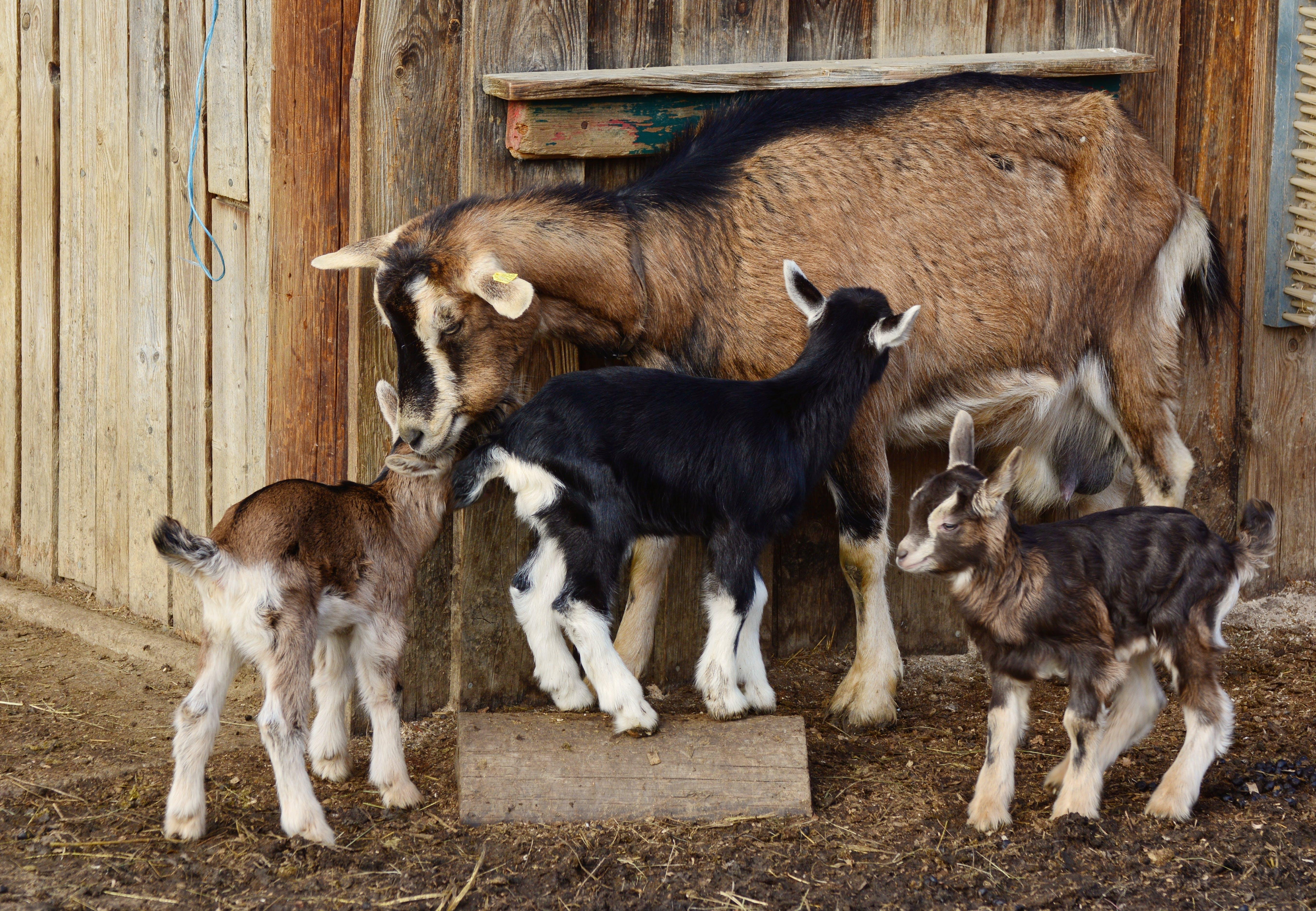 Free stock photo of farm, kid, mammal, goats