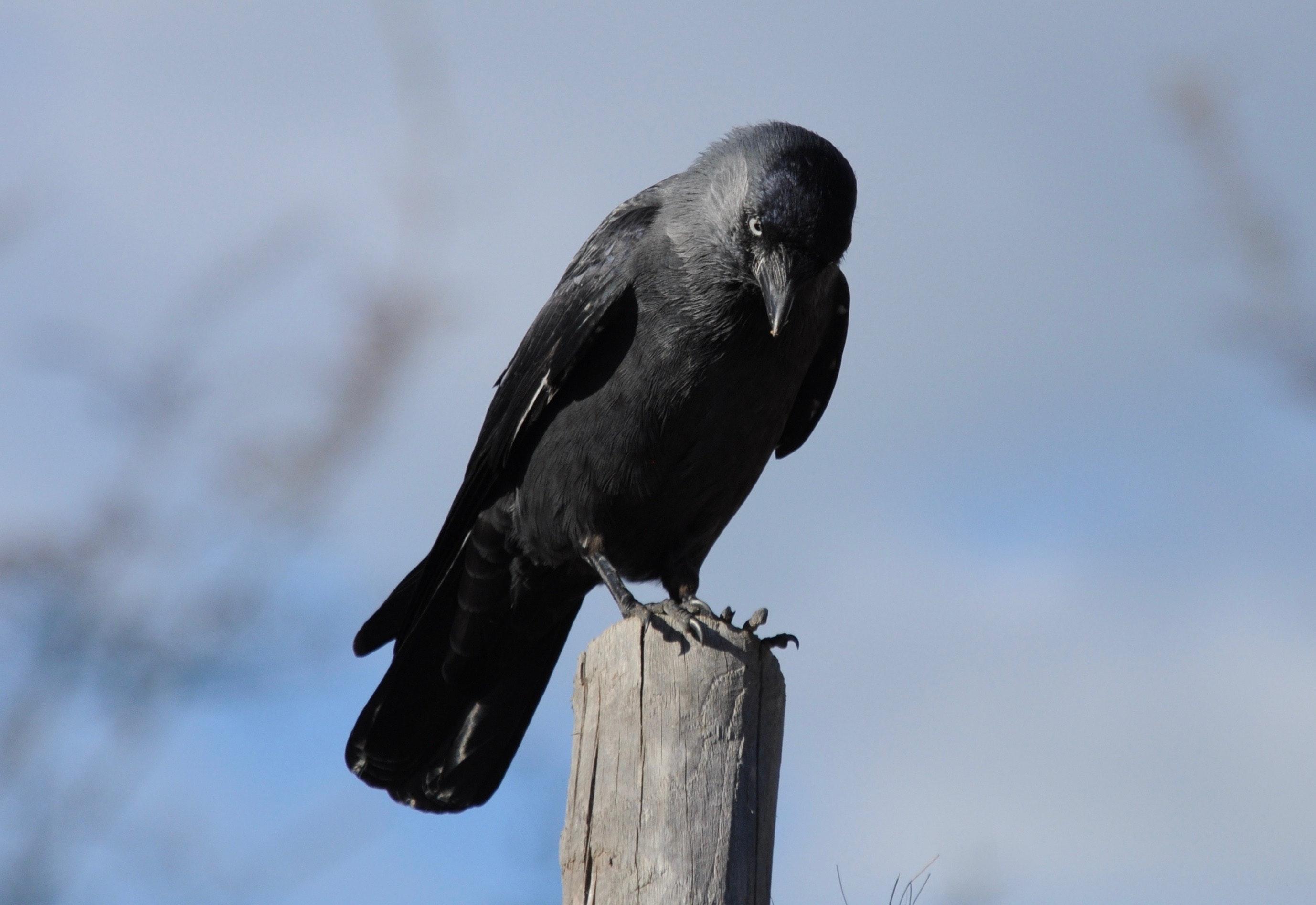 burung gagak hd