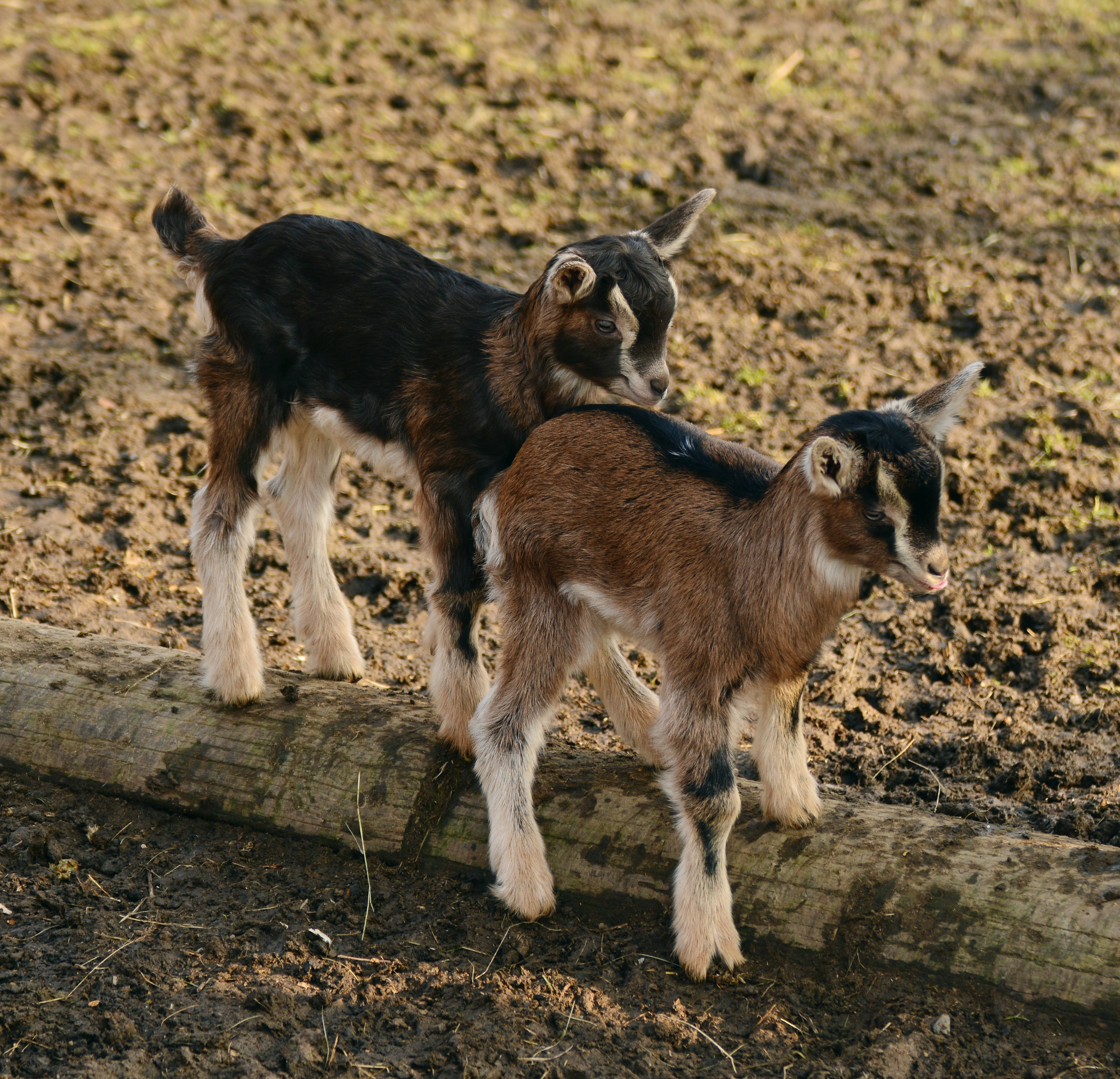 Ingyenes stockfotó állat, állatállomány, aranyos, baba témában
