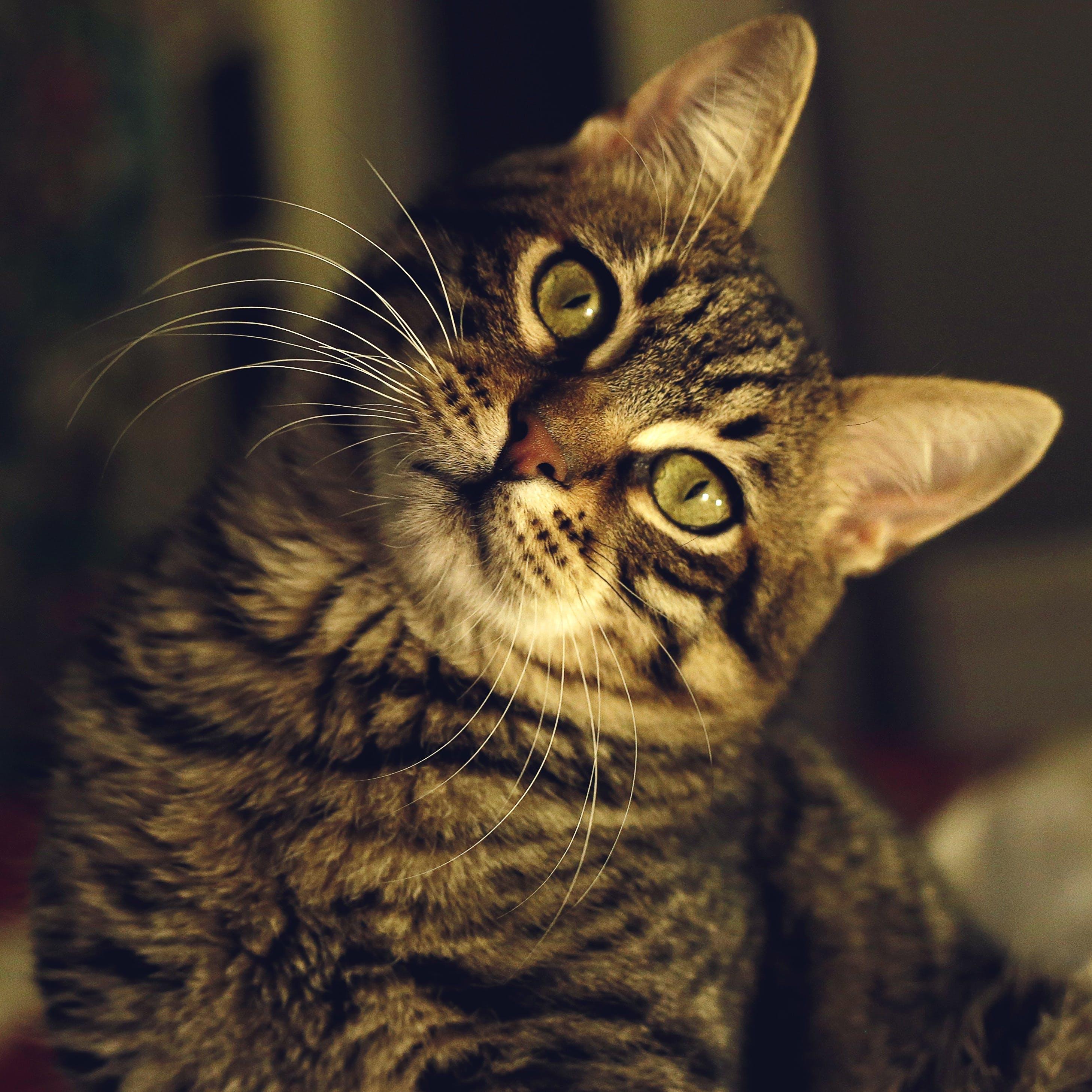 Бесплатное стоковое фото с глаза, домашний, животное, котенок