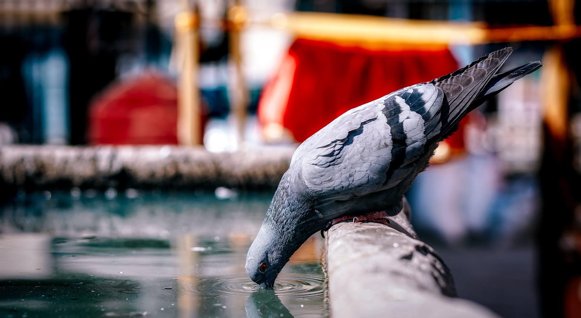 Free stock photo of bird, closeup, drinking, fountain