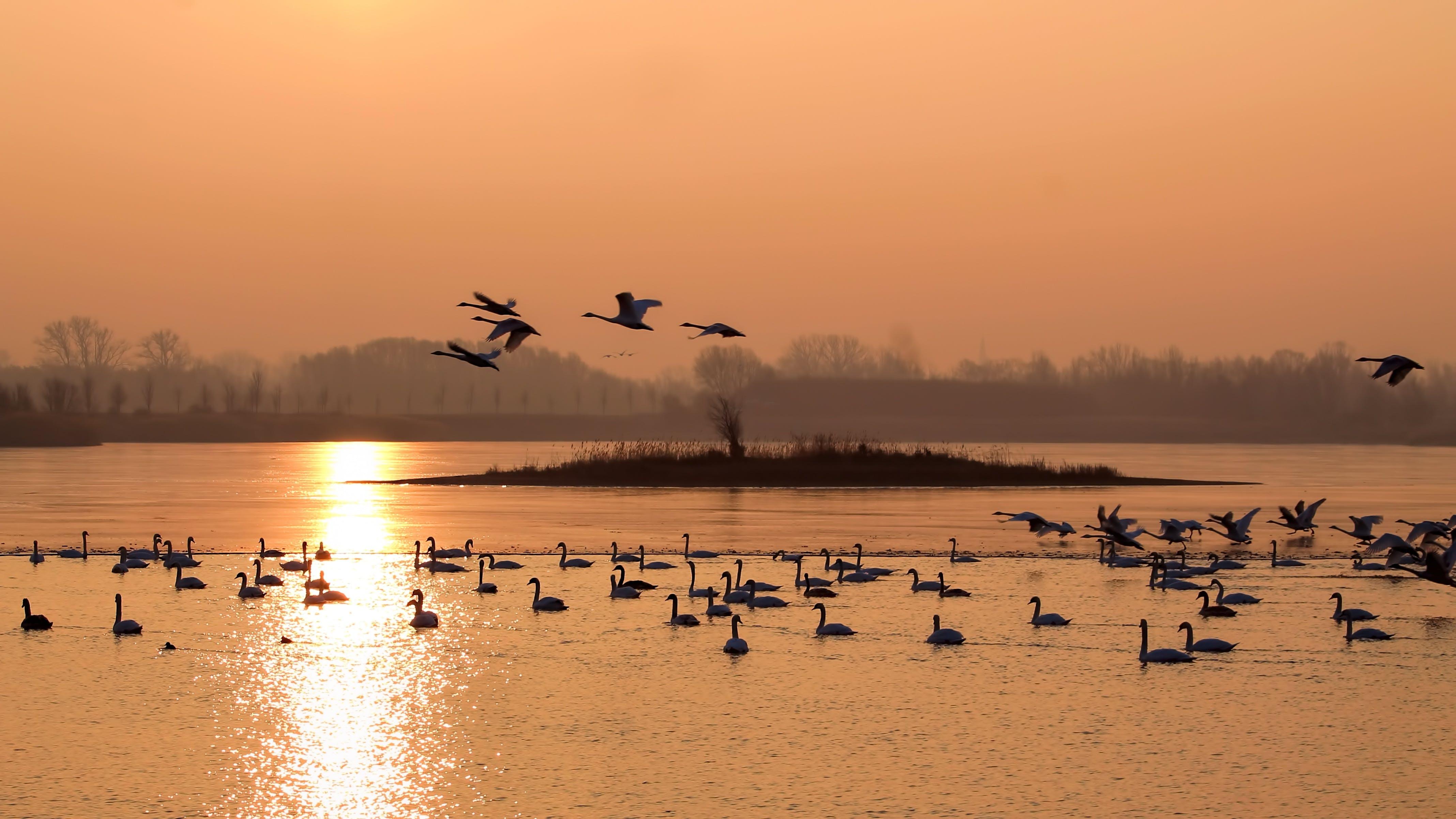 Kostenloses Stock Foto zu landschaft, morgensonne, reflektierung, schwäne