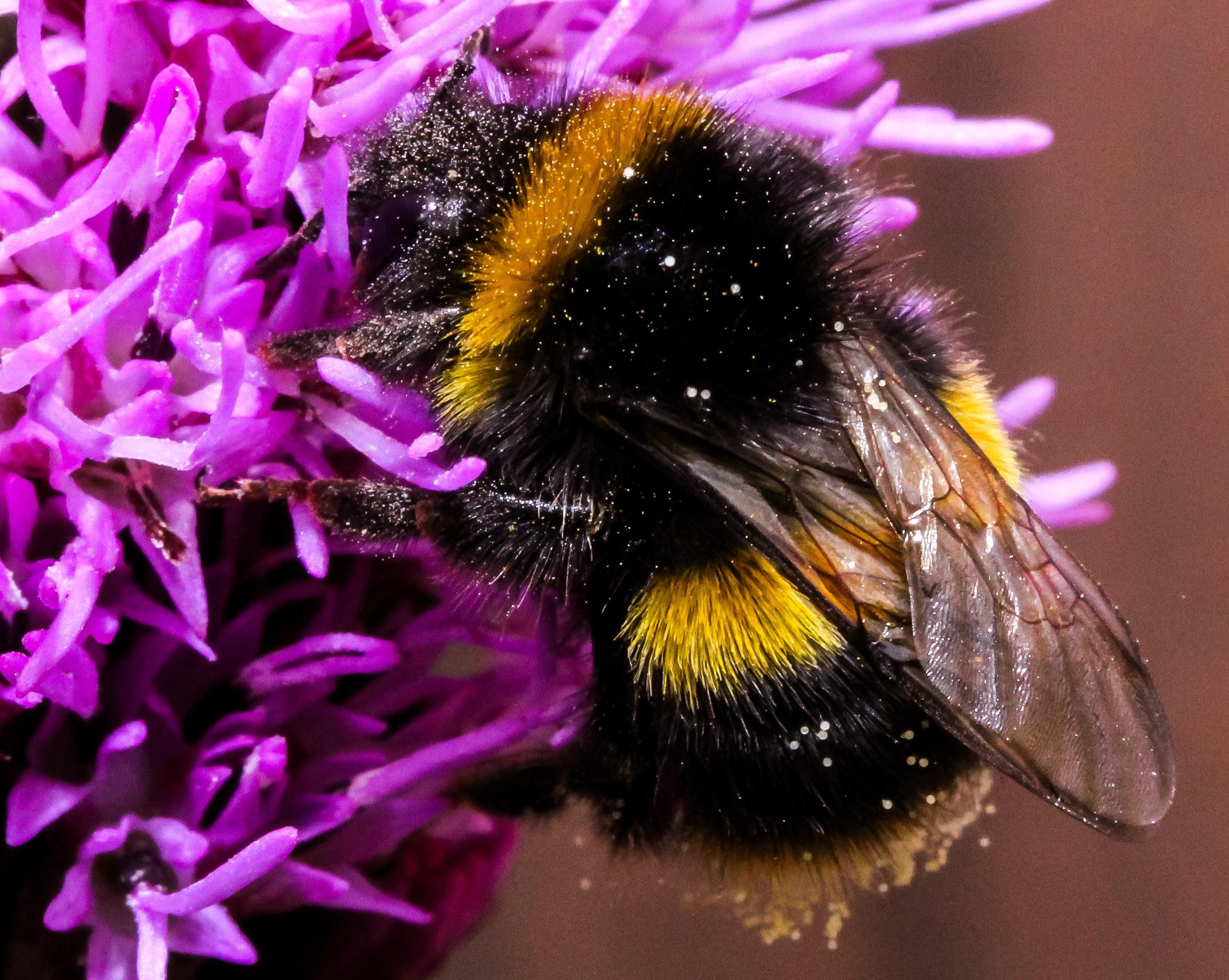 closeup photo of bumble bee on white flowers  u00b7 free stock