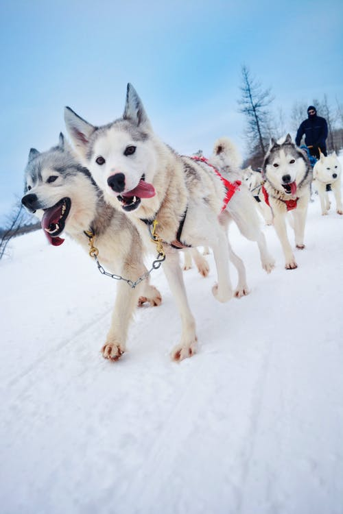 Free stock photo of canada, dogs, ride, winter