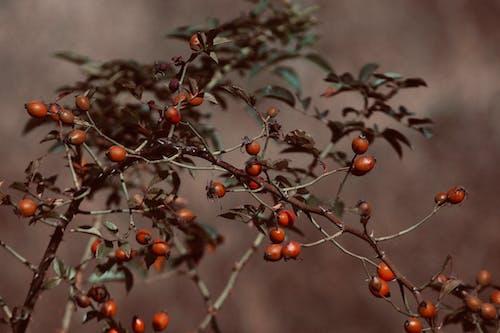 คลังภาพถ่ายฟรี ของ การเจริญเติบโต, ความชัดลึก, ผลไม้, พร่ามัว