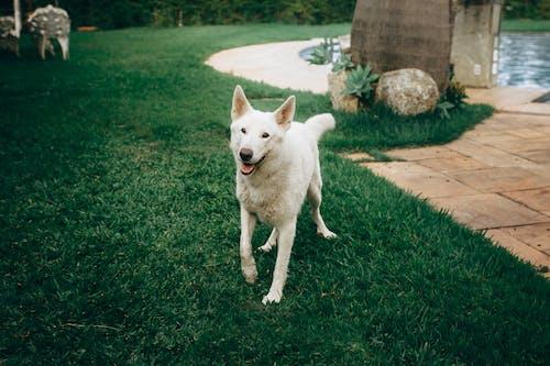 Fotos de stock gratuitas de perro blanco