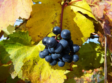 Free stock photo of autumn, red grapes, ripe fruit