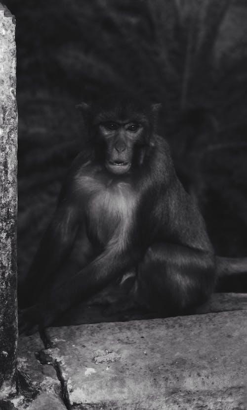 kara, maymun içeren Ücretsiz stok fotoğraf