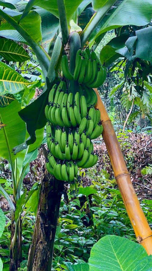 Free stock photo of bamboo, banana leaves, banana tree, bananas
