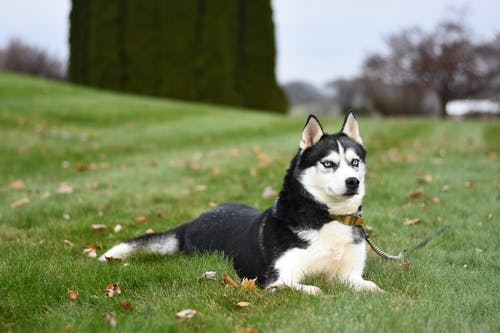 Black and White Siberian Husky Resting On A Green Grass Field