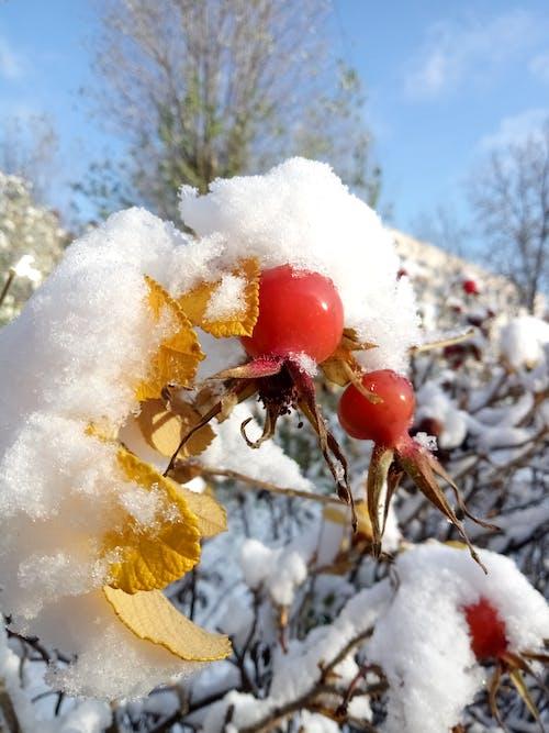 Free stock photo of autumn, nature, rose hip, snow