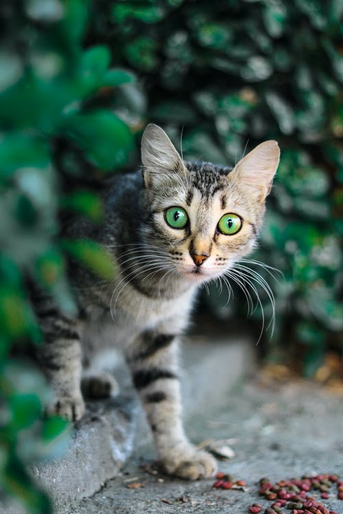 棕色和黑色的虎斑貓的選擇性聚焦攝影