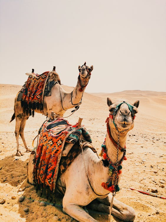 camels, desert, dry