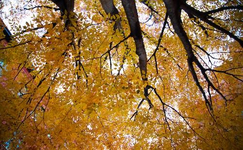 秋季, 秋葉, 黃葉 的 免費圖庫相片