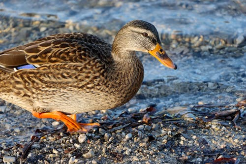 Free stock photo of animal park, animal photography, brown duck, duck