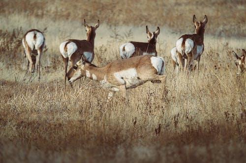 Brown Deer Running on Brown Grass Field