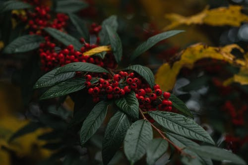 Branch of cotoneaster with wet green leaves and red ripe berries growing on shrub in autumn park