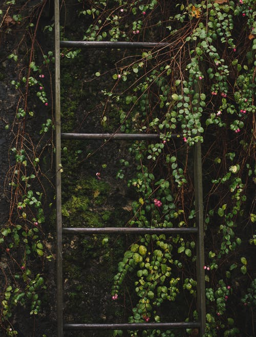 Ladder on Vines