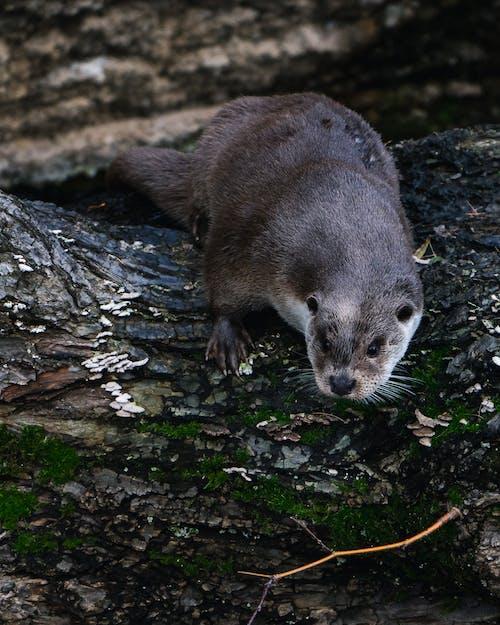Free stock photo of animal photography, animal portrait, otter, vidra